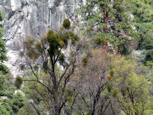 Mistletoe Yosemite MMPRenfrew, 4-6-15