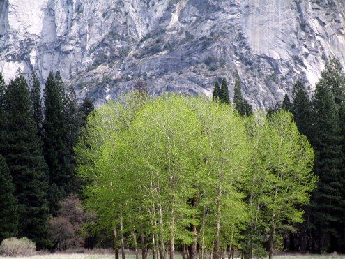 Poplar spring growth Yosemite MMPRenfrew, 4-6-15
