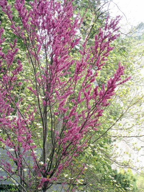 Red bud Yosemite MMPRenfrew, 4-6-15