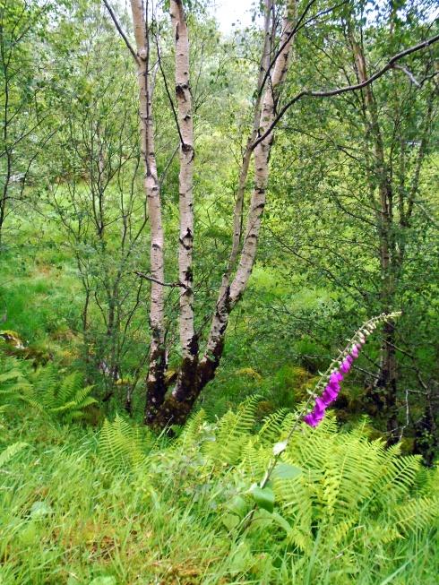 3 birch & foxglove, Loch view trail , MP Renfrew