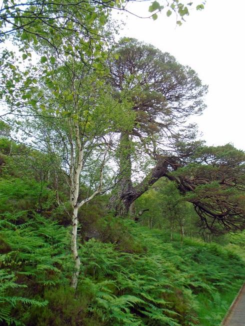 Birch & Scotch pine, Loch view trail , MP Renfrew