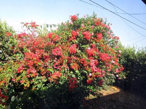 Bougainvillea, hibiscus from my back window, 8-24-15, MP Renfrew