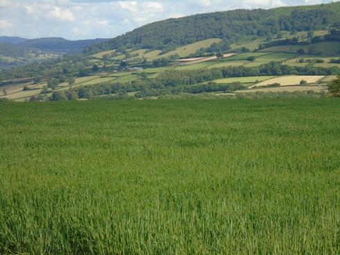 Brecon crop field, MP Renfrew