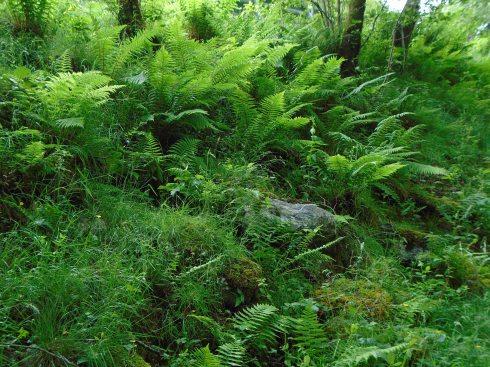 Ferns, Loch view trail Glenfinnan, MP Renfrew