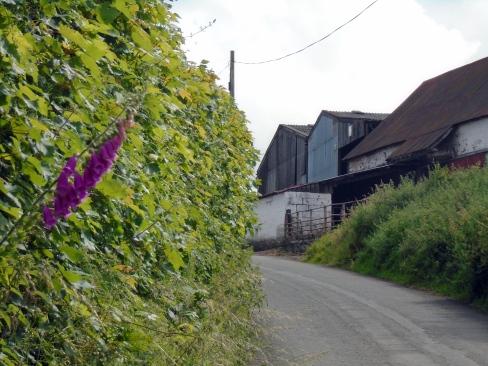 Foxglove on Brecon hill road, MP Renfrew