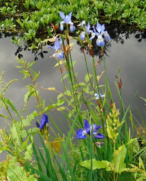 Irises, Jo Cumming's garden, Glentruim