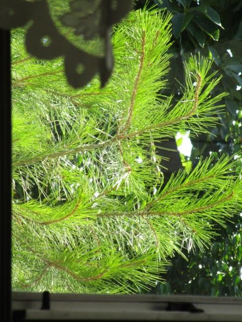 Pine from my kitchen window, 8-24-15, MP Renfrew