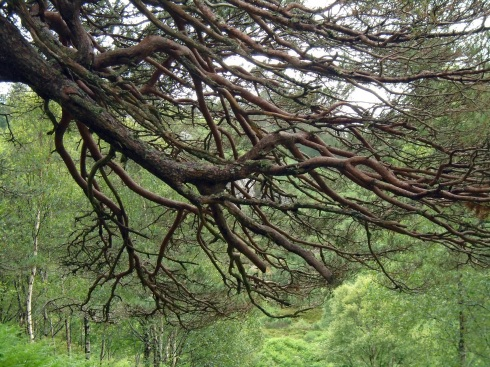 Scotch pine branches, MP Renfrew 7-15 Glenfinnan