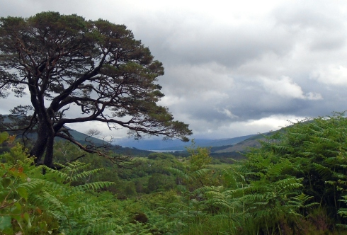 Scotch pine toward top, Loch view trail , MP Renfrew