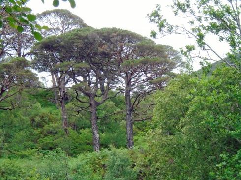 Scotch pines, Loch view trail Glenfinnan, MP Renfrew
