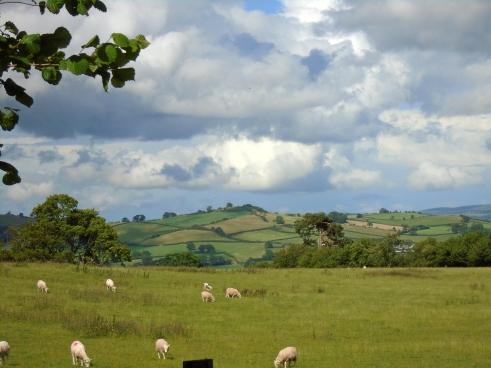 Sheep above Brecon, MP Renfrew