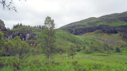 White birch outstanding in its field, MP Renfrew, Glenfinnan, 7-11-15
