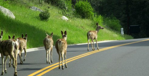 Deer on El Portal Rd., MP Renfrew 4-16