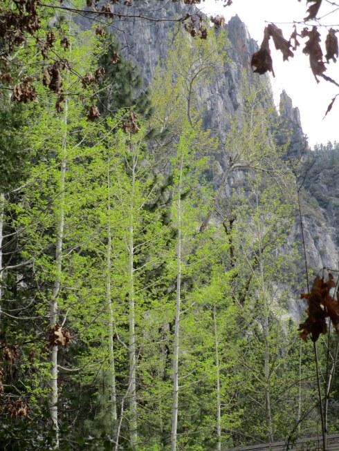 Spring Aspen, Ahwahnee 4-16 MP Renfrew