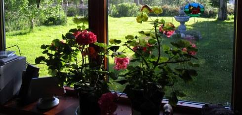 Jo Cumming's geraniums, Glentruim