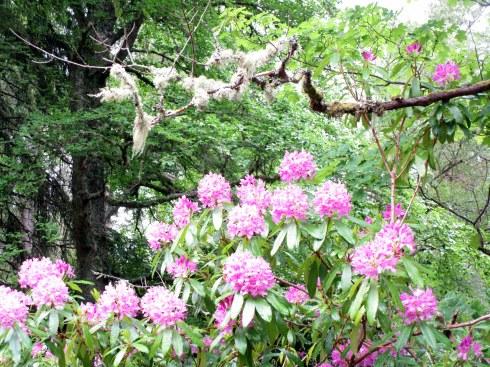 Rhododendrum in Glentruim, MP Renfrew 6-16