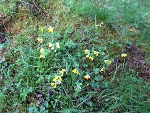 Scottish woods blooms MP Renfrew 6-16