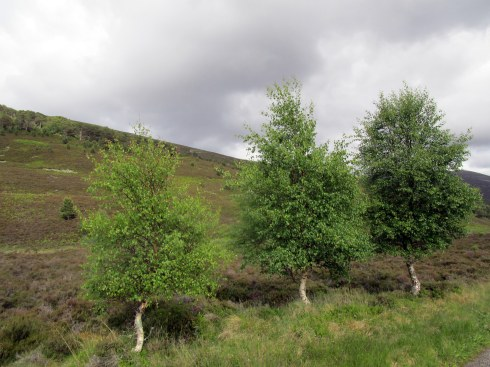 Triplet birch, Glen Feshie, MP Renfrew 6-16