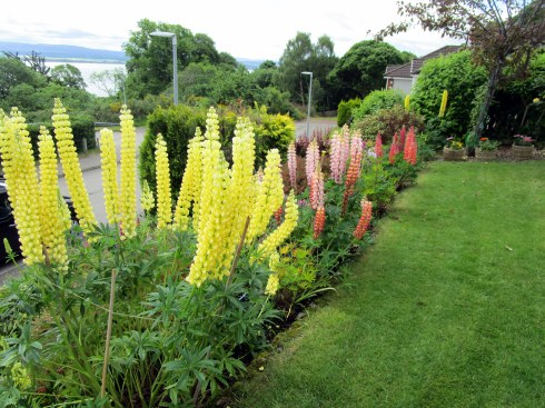 Yellow lupine Inverness MP Renfrew 6-16