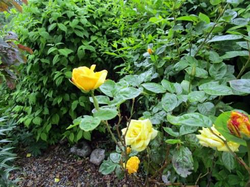 Yellow rose Inverness garden, MP Renfrew 6-16