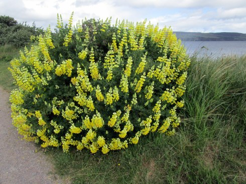 Yellow sea shrub Inverness MP Renfrew 6-16