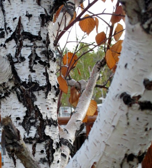 birch-trunk-2-mp-renfrew-11-16