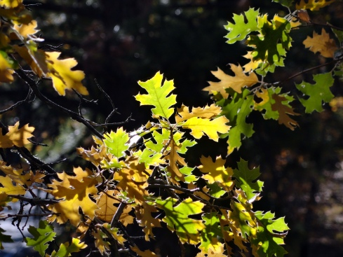 black-oak-leaves-mp-renfrew