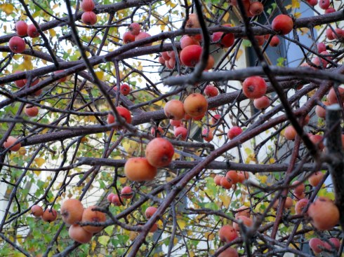 crabapples-bb-mp-renfrew-11-16