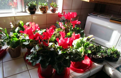 cyclamen-dec-2016-mp-renfrew