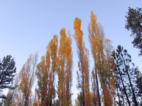 yellow-poplars-11-16-big-bear-mp-renfrew