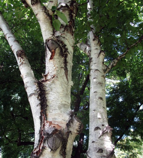 betula-papyrifera-royal-tas-bg-mp-renfrew-1