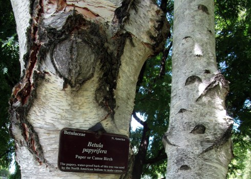 betula-papyrifera-royal-tas-bg-mp-renfrew-2