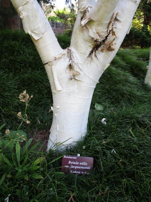betula-utilis-jacquermontii-kashmir-royal-tas-bg-mp-renfrew