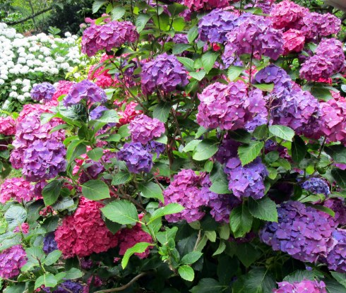 hydrangeas-wellington-mp-renfrew-2