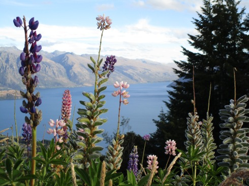 lupine-atop-queenstown-mp-renfrew-1-17-1
