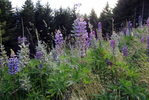 lupine-atop-queenstown-mp-renfrew-1-17-2