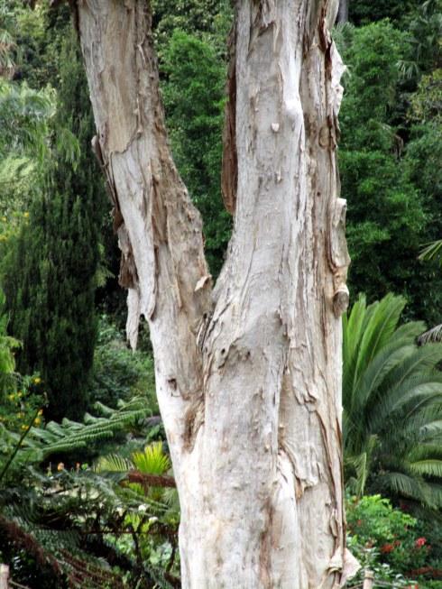 mellaleuca-trunk-1-3-17-mp-renfrew-1