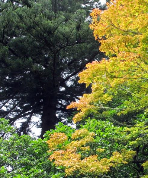 pine-jap-maple-well-mp-renfrew