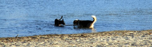 retrieving-dogs-hobart-beach-mpr-1-17