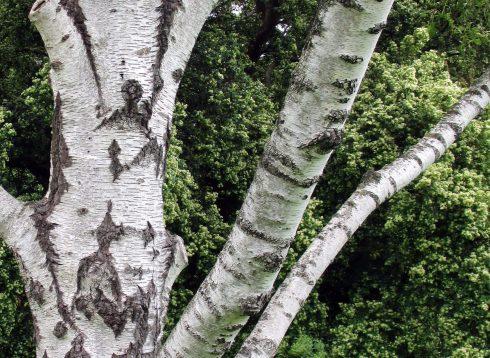 trunks-1-3-17-mp-renfrew-2-white-birch