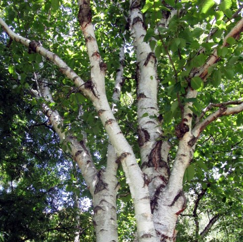 white-birch-betula-outstretch-royal-tas-bg-mp-renfrew-1-17