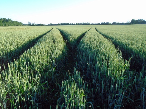 'M' in wheat field, Ashford, Kent, MPR